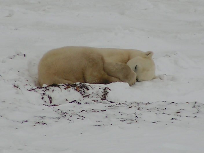 While waiting for freeze-up, polar bears spend most of their time sleeping and trying not to overheat by moving too much.