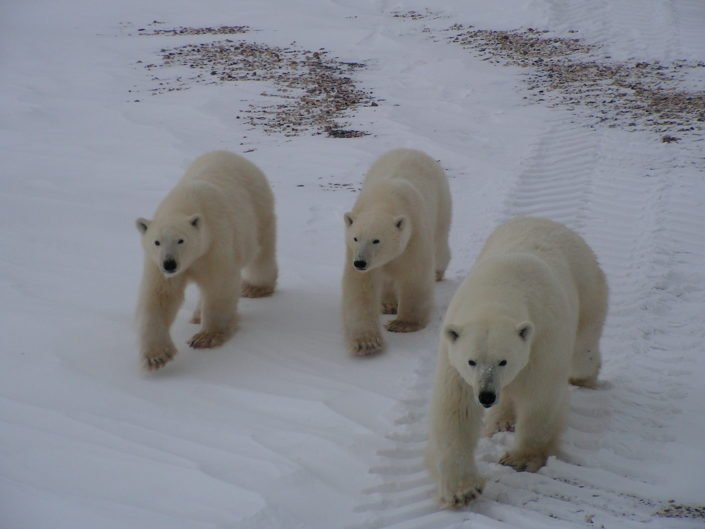 Every year during October and November bears are slowly gathering along the coast anticipating the winter freeze-up of Hudson Bay. They have spent the summer hibernating in dens without eating. When the Bay freezes, bears will get onto the ice to hunt seals until they are will be forced off when the ice starts melting in spring.