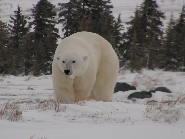 In general adult polar bears live solitary lives.