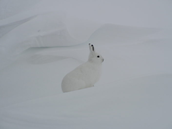 Polar bears are not the only animal you can see at this time of the year. Arctic hare can also be seen.