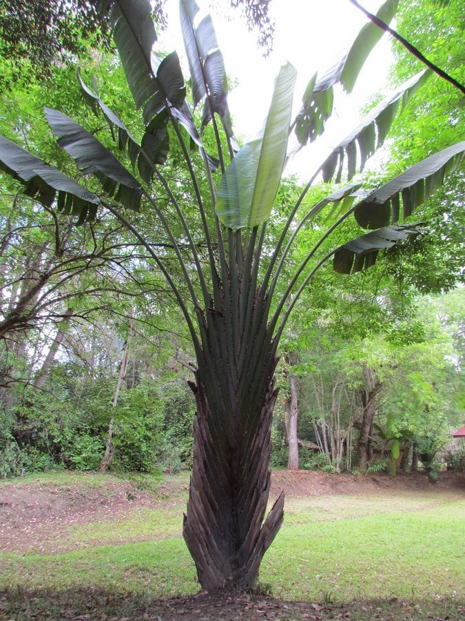 The Traveller's Palm, the national symbol of Madagascar
