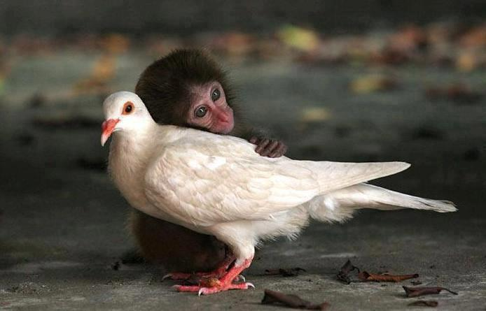 The abandoned monkey who has found love with a pigeon.