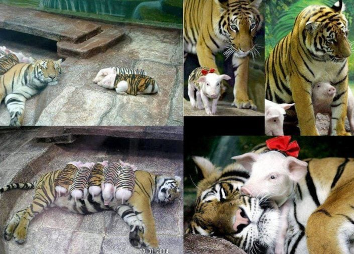 Tigress caring for piglets.